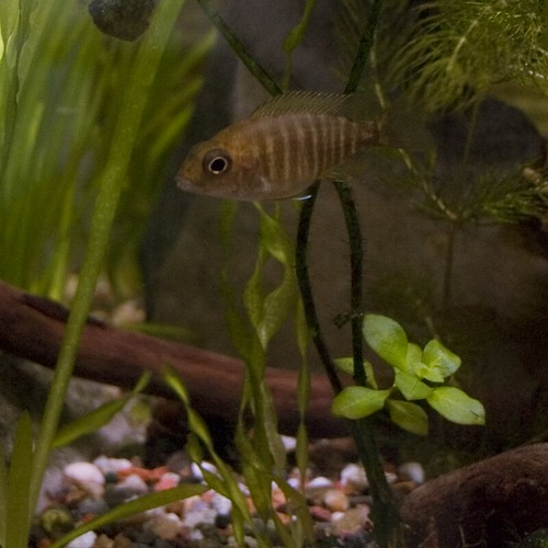 Brown cichlid anybody know what kind of fish this is i for What kind of fish is this