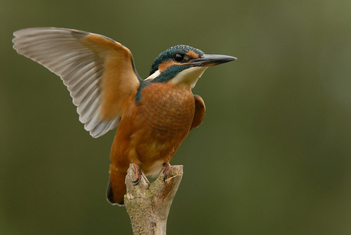 Kingfisher (Alcedo athis) | by m. geven