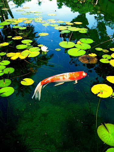 Koi fish in a lily pond at balboa park david flickr for Koi fish pond help