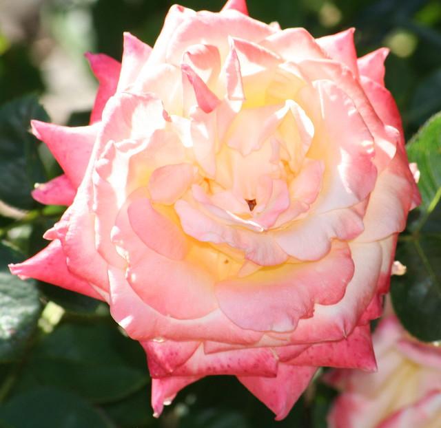 Rose Diana Princess Of Wales Flickr Photo Sharing