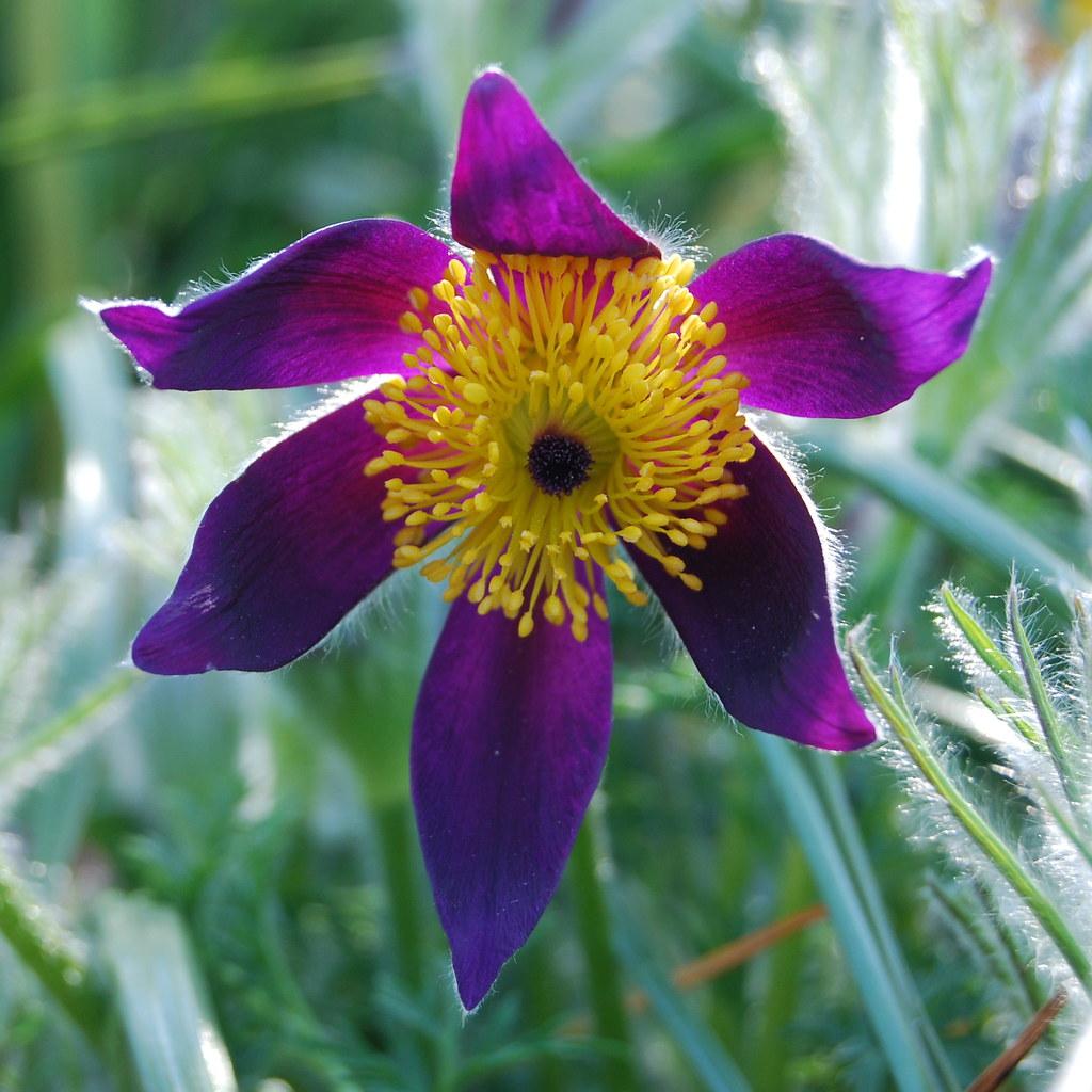 Pasque flower Pulsatilla vulgaris Natalie Tapson