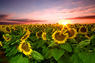 Goodnight Sunflower Field | by dfworks