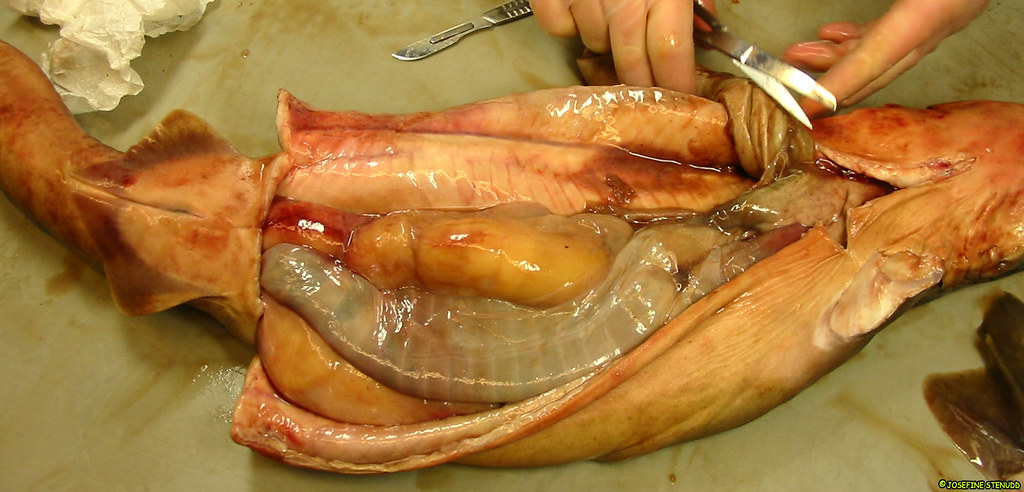 BIO370-Cartilagenous Fishes  |Spiny Dogfish Shark Dissection