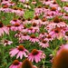A Bunch of Coneflowers
