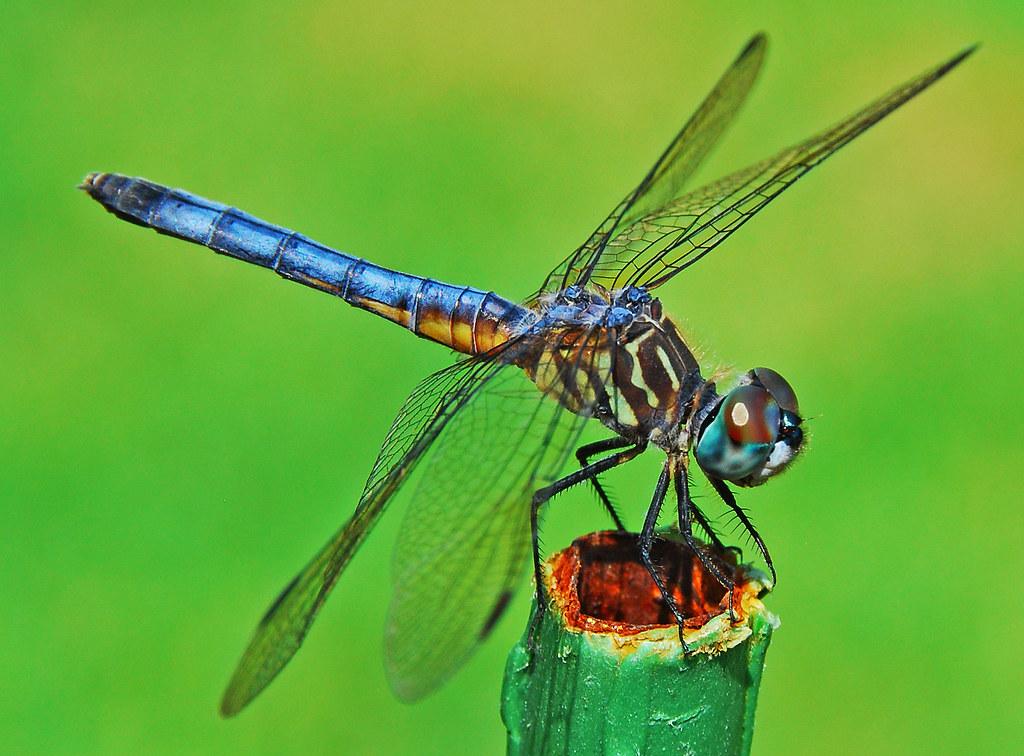 Blue Dragonfly Magic Handheld Shot Taken In Our Backyard