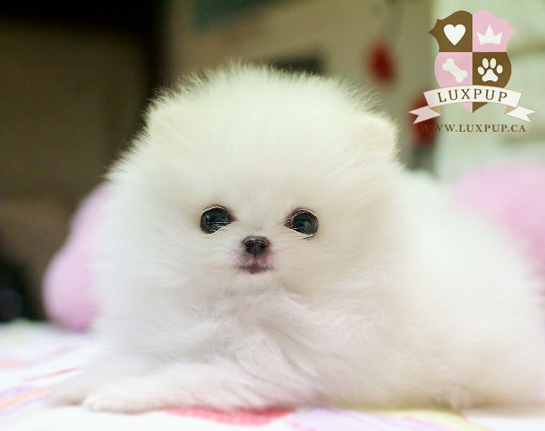 Teacup White Pomeranian | Bringing the cutest and the ...