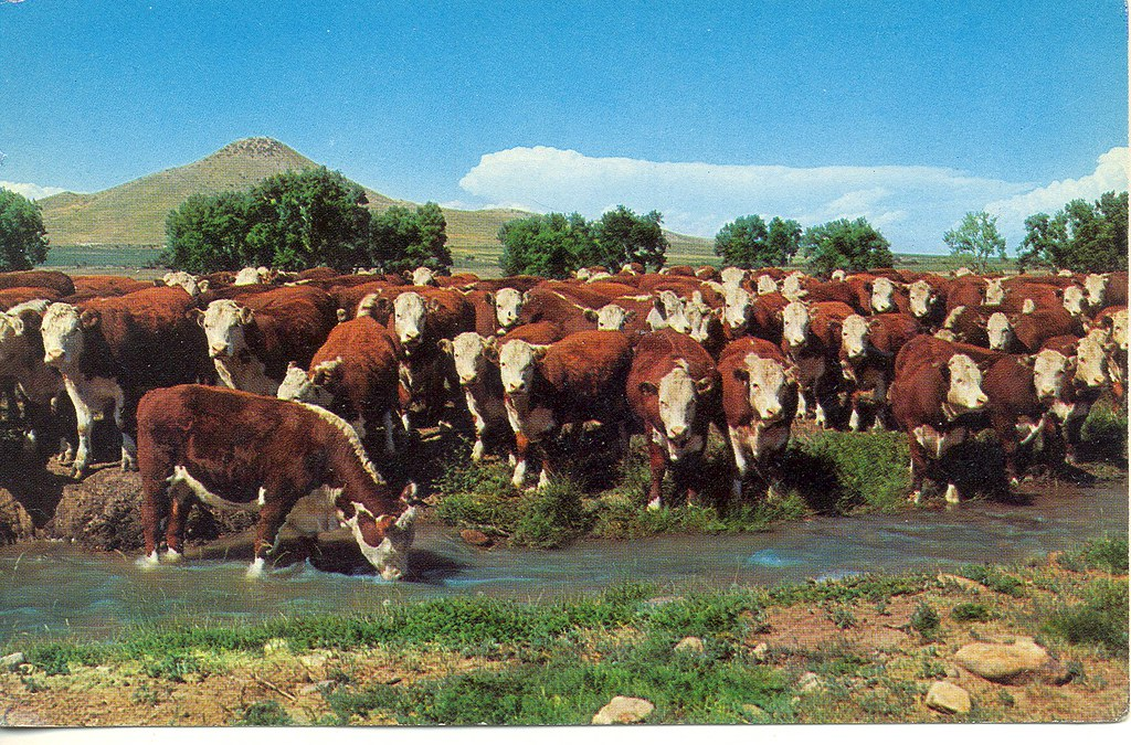 Handsome Herd Of Range Grazing Whiteface Cattle Free Lance