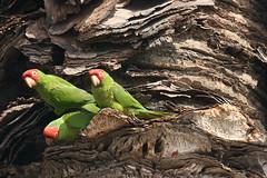 Red-masked parakeet trio