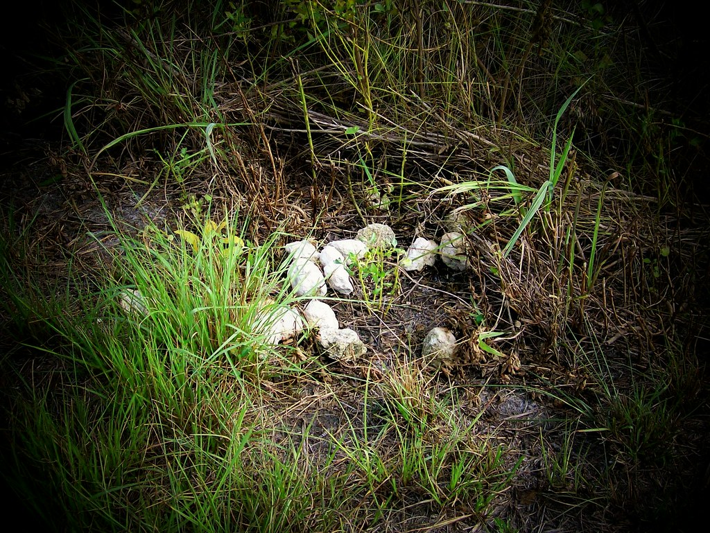 Alligator droppings - photo#29