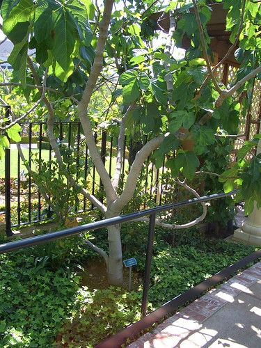 how to look after a fig tree