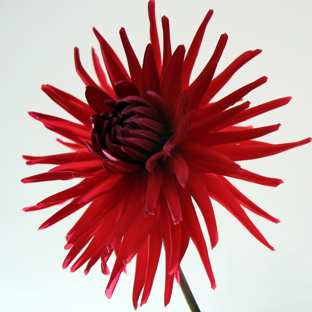 Dahlia flower | Red dahlia flower on the white background ...