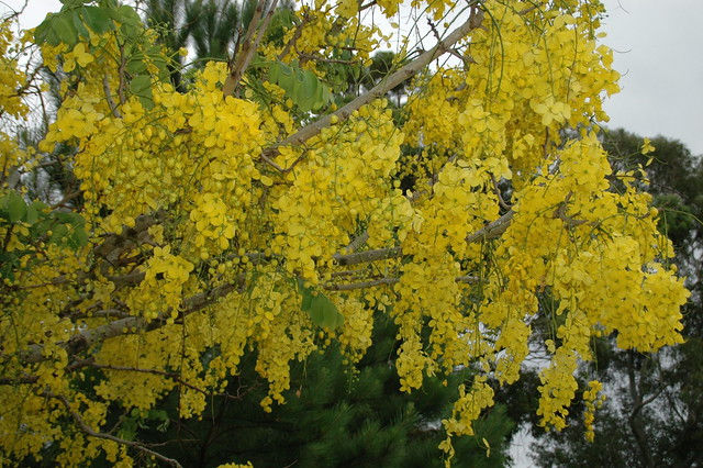 Cassia Fistula - Golden Shower Tree | Flickr - Photo Sharing!