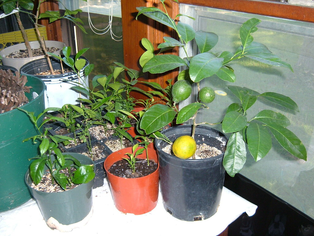Sour Orange, Rangpur Lime, Cal. Orange, and other seedling ...