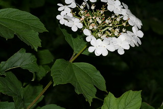 Guelder-rose | by Barry Cornelius