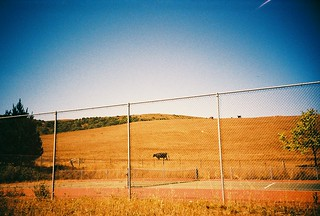 cow and tennis | by lucey