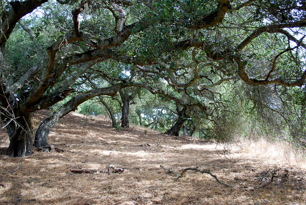 Oak trees | by nickton