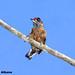 Spotted Piculet_Picumnus pygmaeus