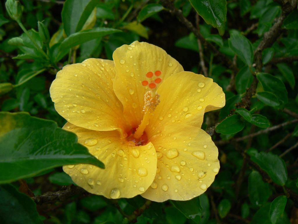 Rosa De Kina Malvaceae Mallow Family Hibiscus Rosa-6575