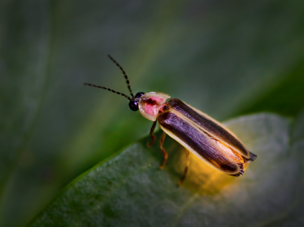 MONTESSORI ZOOLOGY : Insects - Firefly ~ Pinegreenwoods