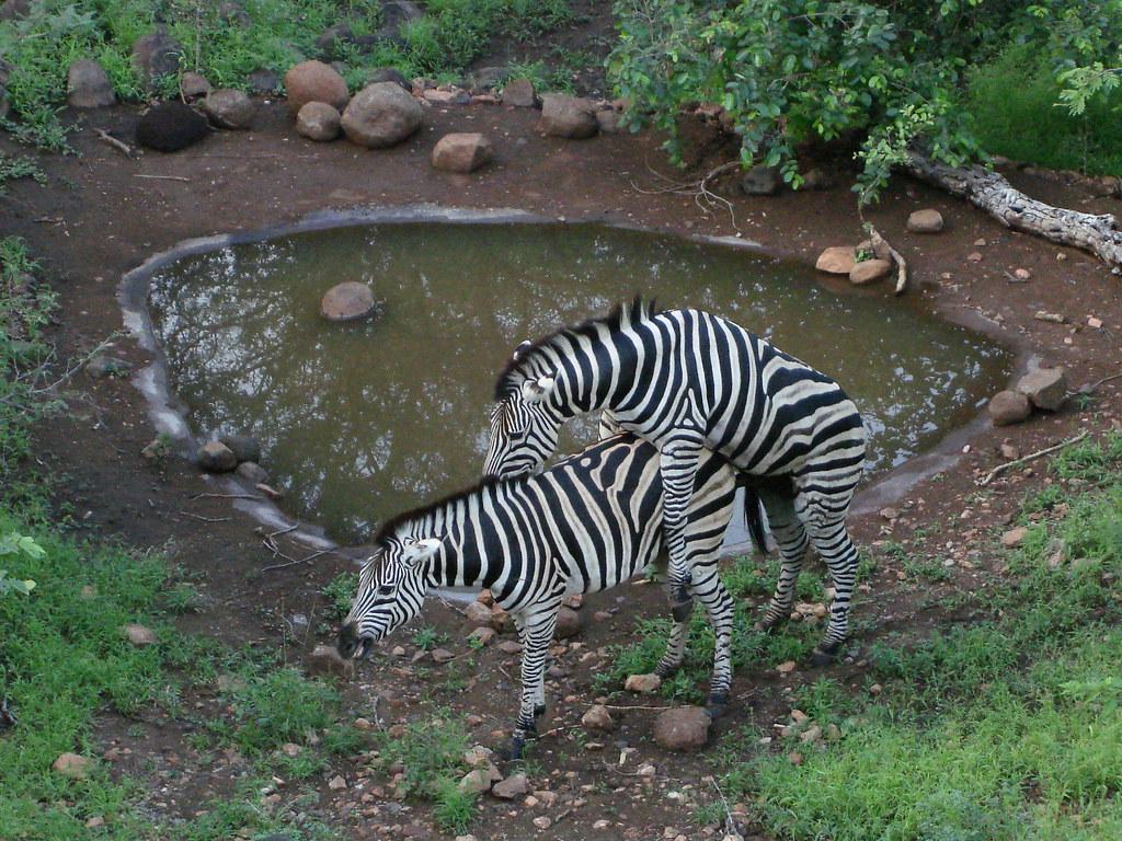 Pictures Of Mating Zebras Kidskunstinfo