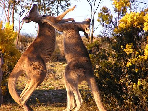 how to call in a kangaroo