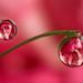 Flower dewdrop refraction - carnation #1