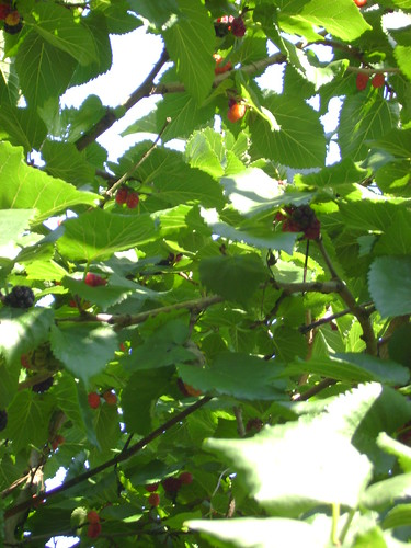 Mulberry Tree | by London Permaculture