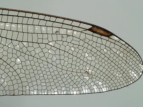Wing of a dragonfly, detail | by gripspix (catching up slowly)