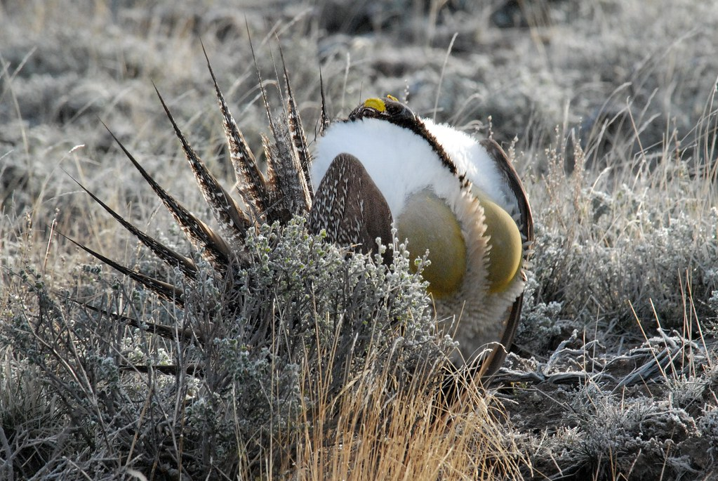 Greater Sage-Grouse (Centrocercus urophasianus) DSC_0041 | by NDomer73