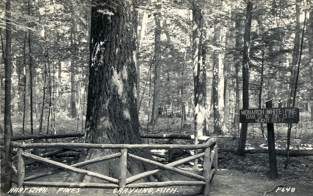 Logging and lumber michigan white pine tree era grayling m for Pine tree timber