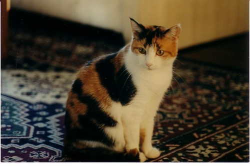Gabby My Cute Calico Cat Flickr Photo Sharing