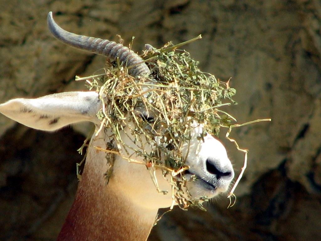 I love my cheap wig dama gazelle wearing its food at for Gazelle cuisine n 13