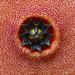 Hoodia pilifera X Hoodia gordonii hybrid flower - Corona Macro