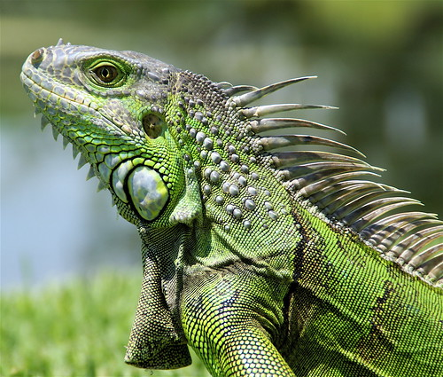 """Iguana Royal Portrait"" 