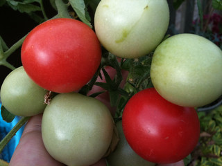 001 Roof Garden: Tomatoes | by yougrowgirl