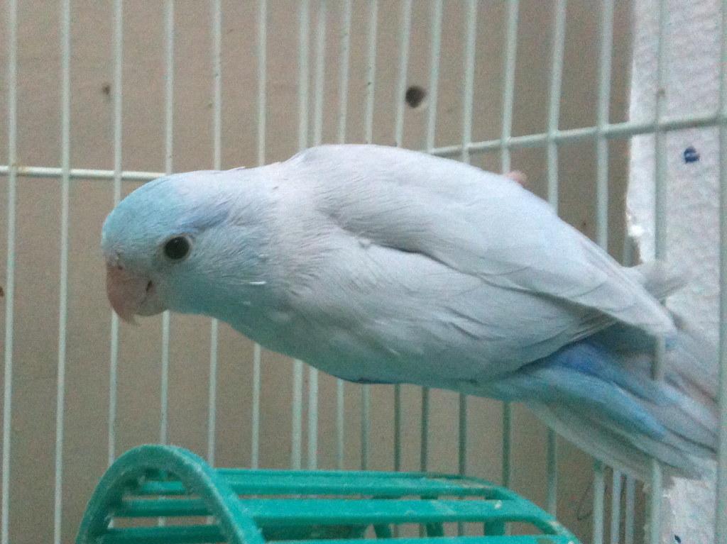 Dilute Blue Pacific Parrotlet Parrotletbirds A Pacific