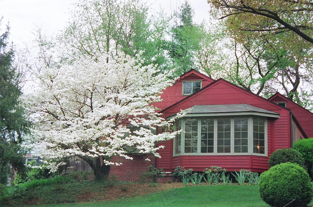 White Dogwood Pink House Alexandria Virginia Usa