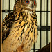 Whoot - Eurasian Eagle-Owl