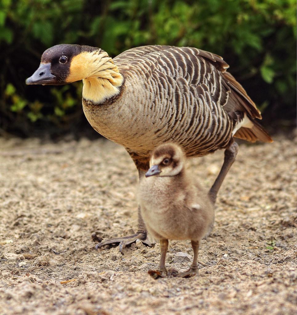Nene And Gosling Worlds Rarest Goose The Hawaiian Or