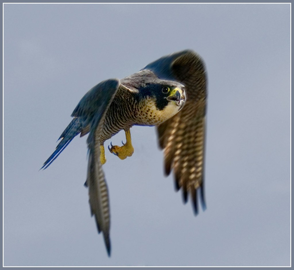 Peregrine falcon in flight - falco peregrinus (the fastest ...