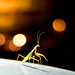 Mantis Dancing Under The Lights