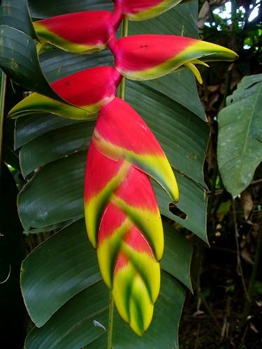 Banana tree flower 2   Flickr - Photo Sharing!