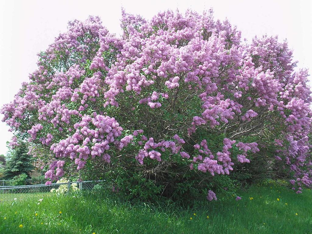 purple lilac bush images galleries