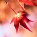 楓葉 #3