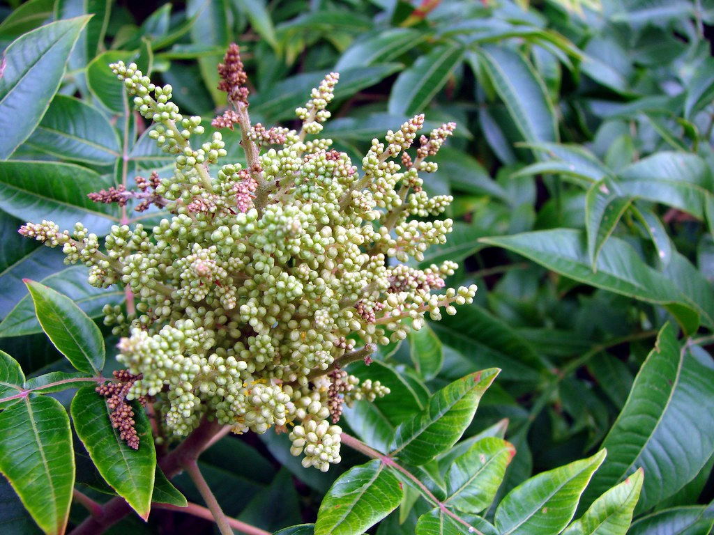 Sumac flowers   Sumac is a common bush in much of the US ...