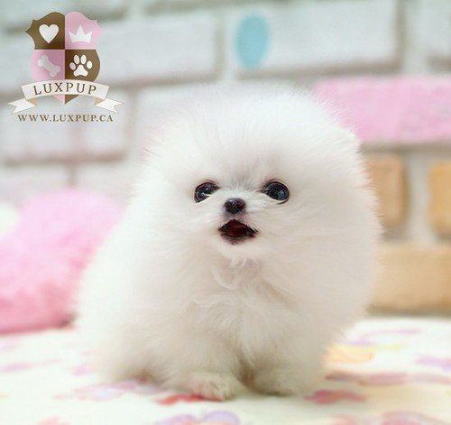 Teacup White Pomeranian | Flickr - Photo Sharing!