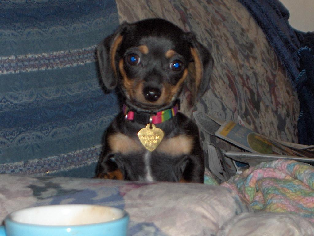 Chihuahua Dog Free Wales Uk