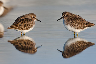 Two Least Sandpipers Calidris minutilla | by mikebaird