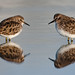 Two Least Sandpipers Calidris minutilla