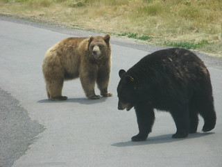 20070701_bear_country_brown_n_black_bears.jpg | by rsgranne
